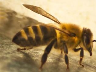 Φωτογραφία για Μέλισσα σκότωσε στρατιωτικό