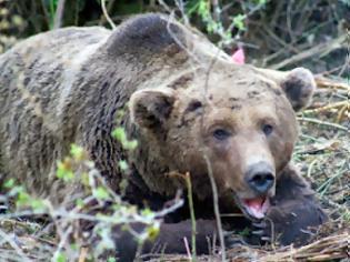 Φωτογραφία για Θηλυκή αρκούδα επιτέθηκε σε 2 ιταλούς τουρίστες