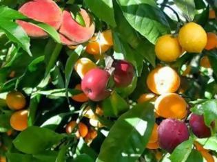 Φωτογραφία για Το δέντρο που βγάζει διαφορετικά φρούτα! (pics)