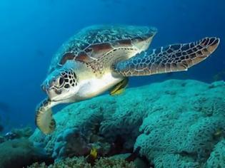 Φωτογραφία για Αλεξανδρούπολη: Νεκρές δεκατρείς θαλάσσιες χελώνες καρέτα - καρέτα